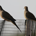 Mourning Doves Calverton New York by Bob Savage