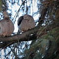 Mourning Doves by Marjorie Imbeau
