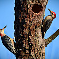Red Bellied Woodpeckers by Jeanette Fiveash