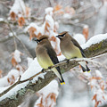 Mr. And Mrs. Cedar Wax Wing by Betty Pauwels