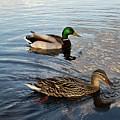Mr And Mrs Duck On Parade by Douglas Barnett