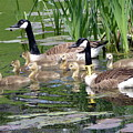 Mr And Mrs Goose And Family by Janice Drew