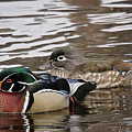 Mr. And Mrs. Wood Duck by Sharon Fiedler