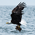 Mr. Bald Eagles Catch by Tom Rostron
