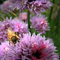 Mr Bee On My Chives by Nancy Griswold