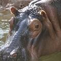 Mr. Hippo by William Petri