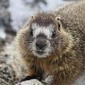 Mr. Marmot by Marie Leslie