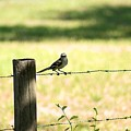 Mr. Mockingbird by Lisa Clark