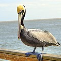 Mr. Pelican by Linda Covino