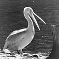 Mr Pelican by Samara Bauer