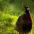 Mr Pheasant by Angel Ciesniarska