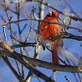 Mr. Red Beauty by Deborah Benoit