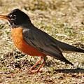 Mr. Spring Robin by Al Fritz