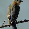 Mrs. Bluebird by Robert Frederick