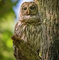 Mrs. Owl by Joe Gliozzo