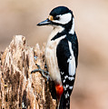 Mrs Woodpecker by Torbjorn Swenelius