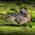Ms. Wood Duck by Rick Fisk