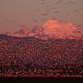 Mt Baker Snow Geese by Owen Ashurst