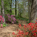 Mt Hamilton Azaleas 4 by Chris Scroggins