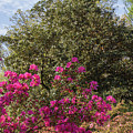 Mt Hamilton Azaleas 5 by Chris Scroggins