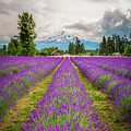 Mt. Hood And Lavender by Jean-Claude Ardila