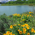 Dm9225-mt. Moran And Arrowleaf Balsamroot  by Ed  Cooper Photography