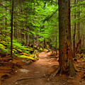 Mt Rainier Forest Path by Adam Jewell