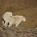 Mtn.goats by Greg Payne