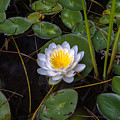 Mudd Pond Water Lily by Sherman Perry