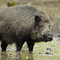 Muddy Boar In Puddle by David & Micha Sheldon