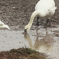Muddy Tundra Swan by Stacey Scott