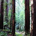 Muir Woods 1 by Megan Swormstedt