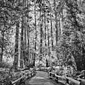 Muir Woods Bw by Diana Powell