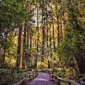 Muir Woods by Diana Powell