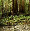 Muir Woods Sentinels by Matt Tilghman