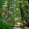 Muir Woods Study 22 by Robert Meyers-Lussier