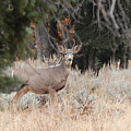 Mule Deer Buck by Dennis Hammer