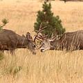 Mule Deer Bucks Sparring In Open Pine Woodlands by Max Allen