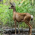 Mule Deer Doe - Yosemite by Kristia Adams