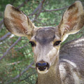 Mule Deer by Elaine Malott