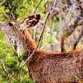 Mule Deer Foraging On Pine On A Colorado Spring Afternoon by Steve Krull