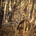 Mule Deer In Aspen Thicket by Soli Deo Gloria Wilderness And Wildlife Photography