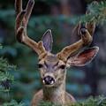 Mule Deer In Velvet 02 by Michael Scully