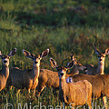 Mule Deer In Velvet 04 by Michael Scully