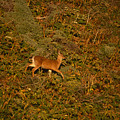 Mule Deer - Mattole Beach by Soli Deo Gloria Wilderness And Wildlife Photography