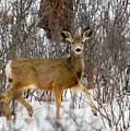 Mule Deer Portrait In Heavy Snow by Steve Krull