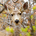 Mule Deer Portrait In The Pike National Forest by Steve Krull