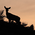 Mule Deer Silhouetted Against Sunset Ridge by Max Allen