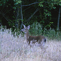 Mule Deer - Sinkyone Wilderness by Soli Deo Gloria Wilderness And Wildlife Photography