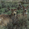 Mule Deer Visitors At Sunset by Yeates Photography